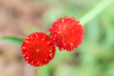 globosa: Globe amaranth or Gomphrena globosa. Stock Photo