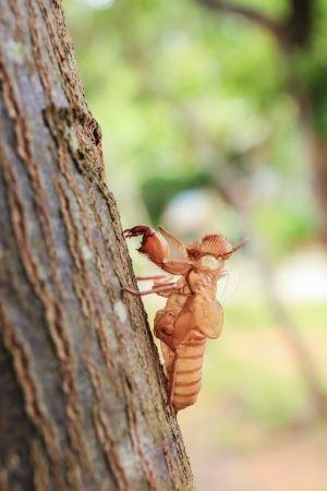 Close up cicada shell which leave on the tree. Stock Photo