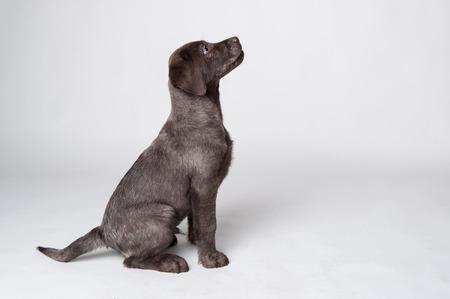 Puppy labrador retriever studio portret op witte achtergrond Stockfoto