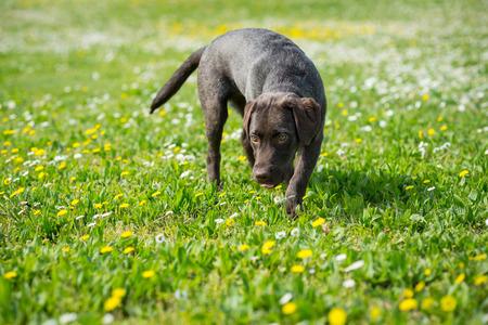 Puppy labrador retriever zwart hondportret lopen buiten in een park