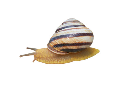 Garden snail  isolated on a white background photo