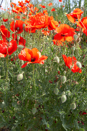 red poppies under cloudy sky in summer photo