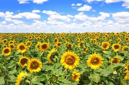 champ de floraison des tournesols sur un fond de ciel bleu