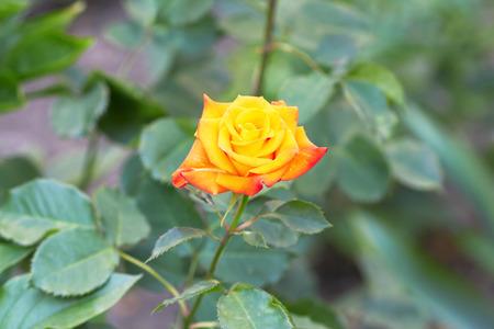 rose bush: Rose bush with yellow rose in bloom