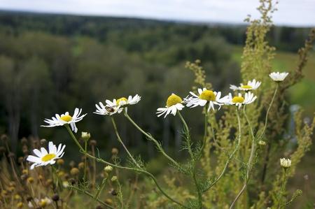 marguerites prairie en fleurs et un bourdon