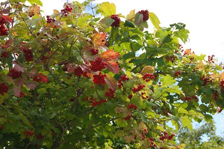 Red ripe viburnum hanging clusters on a branch Stock Photo