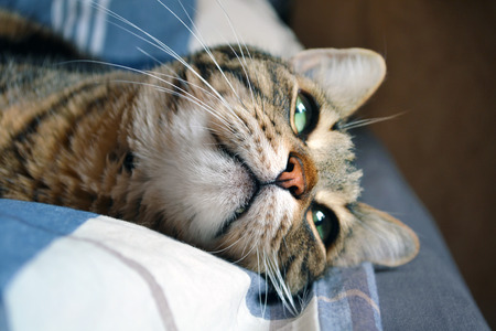 striped brown cat, with a thoughtful look on the bed Stock Photo