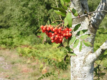 rowan tree: beautiful red rowan tree view in forest gorgeous landscape