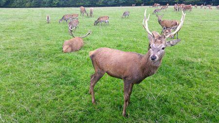 elaphus: Brown Stag looking hart in forest beautiful red deer