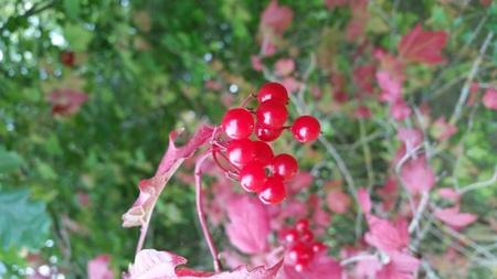 drupe: Red fruit viburnum opulus in autumn Stock Photo