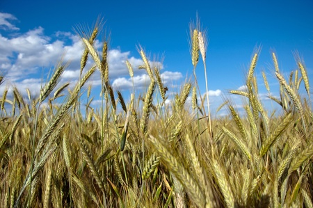 Photo of fully grown grain