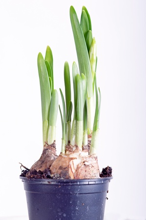 Photo of beautiful narcissus on white background photo