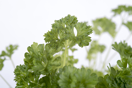 twing: picture of parsley on a white background