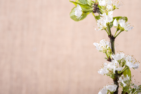 twing: photo showing the material background with white flowers