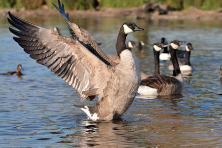 Canadian Goose in nature park photo