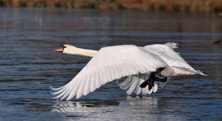 White swan start for fly Stock Photo