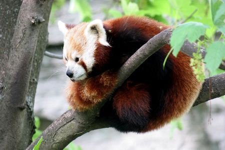 resides: little panda bear resides on a tree Stock Photo