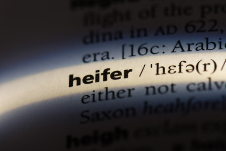 heifer word in a dictionary. heifer concept.