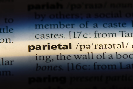 parietal word in a dictionary. parietal concept.