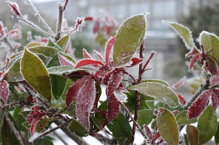 Frost on leaves on winter morning photo
