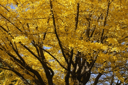 gingko: Yellow gingko trees in autumn
