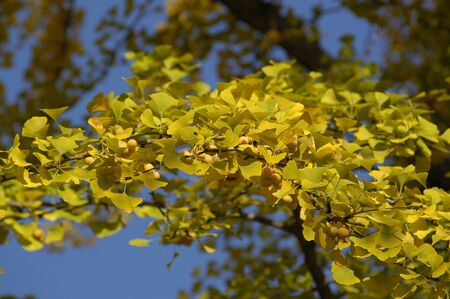 Yellow gingko trees in autumn photo