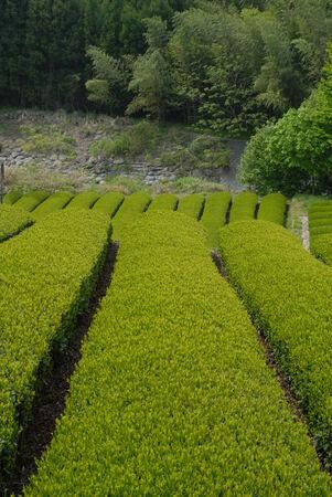 japanese tea garden: Tea plantation in Japan Stock Photo