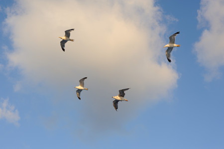 Seagulls flying against blue sky and white clouds in summer Stock Photo