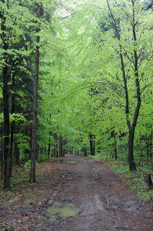 Jungfräulicher Buchenwald im Frühjahr Polen, Europa Standard-Bild