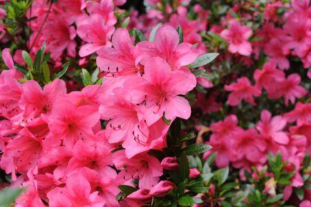 Różaneczniki różanecznika różanecznika kwitnące latem w ogrodzie w Japonii Zdjęcie Seryjne