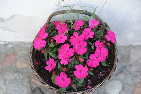 Purple Impatiens balsamina or balsam, garden balsam, rose balsam, touch-me-not in full bloom in summer in a basket as garden decoration 免版税图像