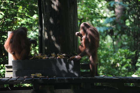 Orangutan in natural jungle tropical forest in Borneo island, endangered species of mammal
