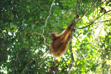 Wild orangutan youngster in natural jungle tropical rainforest in Borneo island, endangered species of mammal Banque d'images