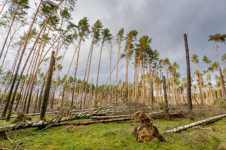 Forest devastated by a storm. Tuchola Pinewoods (Bory Tucholskie), northern Poland, Europe. Zdjęcie Seryjne