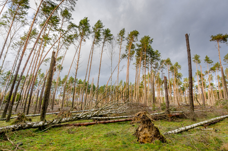 Forest devastated by a storm. Tuchola Pinewoods (Bory Tucholskie), northern Poland, Europe. 版權商用圖片