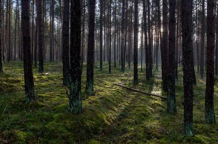 Tuchola Pinewoods (Bory Tucholskie), northern Poland, Europe.