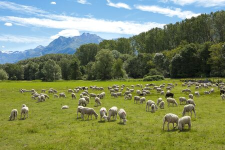 Flock of sheep grazing  photo