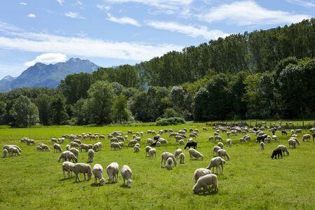 rancho: Rebaño de ovejas pastando