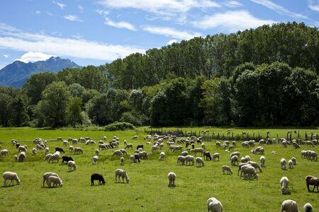 agri: Flock of sheep grazing