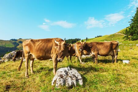 pasturage: Cows grazing in a typical Alpine landscape