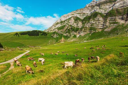 vaca: Vacas que pastan en un paisaje típico de los Alpes