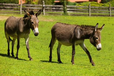 donkeys: Donkeys free grazing, summer