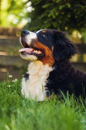 bernese mountain dog: Bernese mountain dog, on the grass