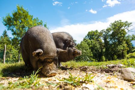 cerdos: Los cerdos comen, vista de primer plano