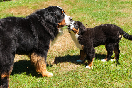 berner: Bernese mountain dog, on the grass