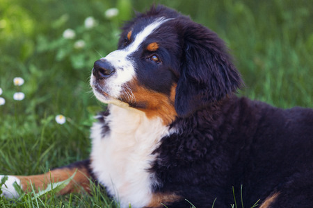 bernese: Bernese mountain dog, on the grass