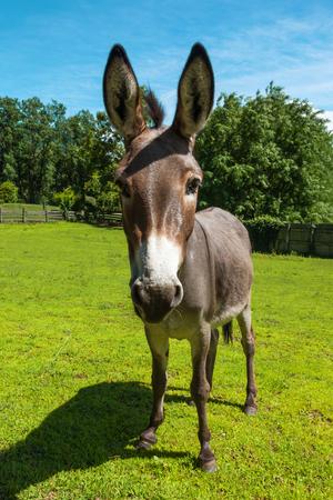 burro: Burros pastoreo libre, verano