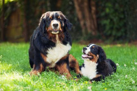 bernese dog: Bernese mountain dog, on the grass