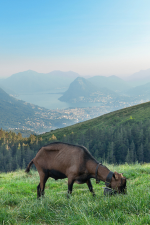 mountain goat: landscape, mountain meadows, one goat grazing