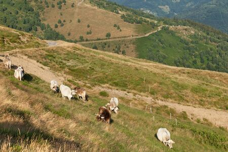 baro: Swiss mountain landscape, grazing cows